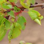 Бактериальная пятнистость на листьях абрикосового дерева