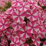 Бело-розовые стелющиеся флоксы
