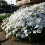 Фото 8: Белые стелющиеся флоксы