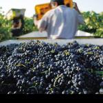 Фото 41: Сбор винограда на вино