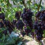 Фото 42: Сорт винограда Бригантина