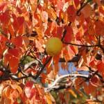 Фото 14: Кустарник айвы осенью