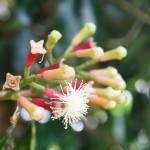 Фото 11: Цветение гвоздики