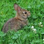 Клевер - лакомство для кроликов