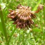 Фото 9: Конец цветения клевера