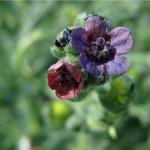 Фото 8: Разноцветье чернокорня лекарственного