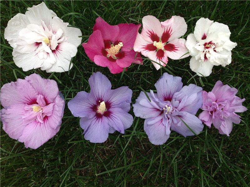 Оттенки цветов гибискуса