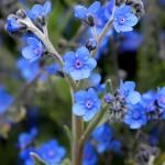 Фото 9: Вид Сynoglossum amabile
