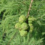 Фото 11: Зеленые шишки кипариса