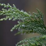 Фото 17: Кипарис под дождем