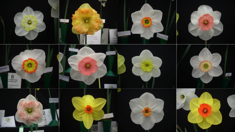 Виды цветков нарцисса