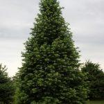 Фото 34: Пихта фото дерева