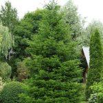 Фото 45: Дерево сибирской пихты