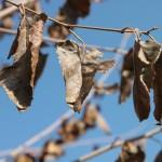 Шелковица осенью