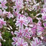 Фото 10: Бело-розовые флоксы