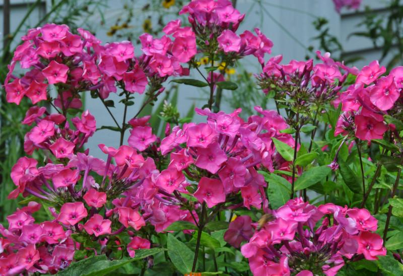 Кустовые розовые флоксы