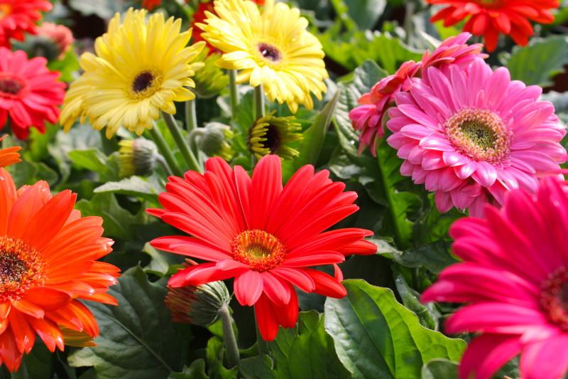 Разнообразие цветов комнатной герберы