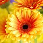 Фото 11: Гербера желто-оранжевая