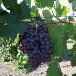 Фото 46: Виноград сорта Рубин