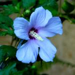 Голубой гибискус