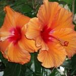 Оранжевый гибискус