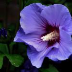 Фиолетовый гибискус