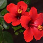 Фото 21: Красный гибискус