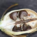 Плод гибискуса в рзарезе