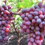 Фото 49: Виноград сорта Кармакод