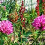 Рост клевера в полевых условиях
