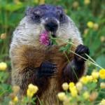 Фото 19: Польза клевера для диких животных