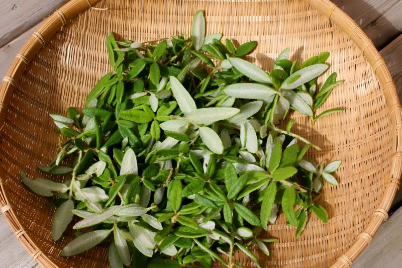 Заготовка листьев багульника