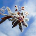 Фото 29: Багульник зимой