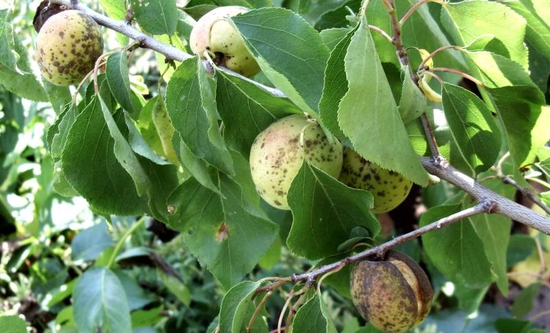 Поражение абрикосового дерева монилозом