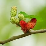 Созревание плодов шелковицы