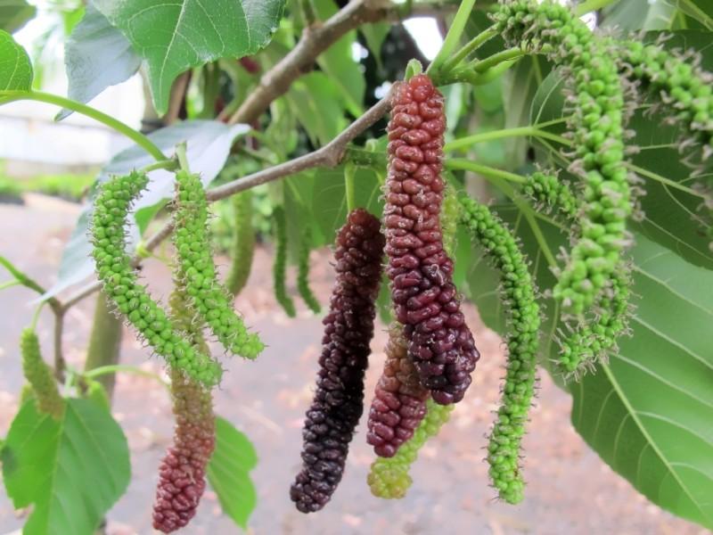 Созревание семян шелковицы