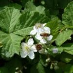 Опылениеи цветение шелковицы