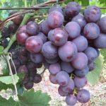 Фото 64: Виноград сорта Ошфор