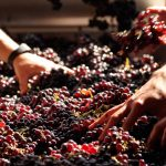 Фото 50: Отбор винограда