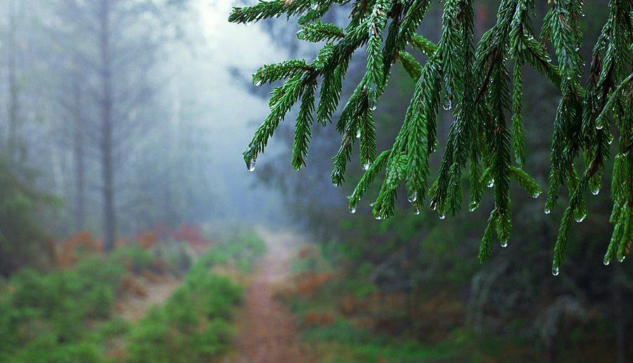 Естественный полив пихты