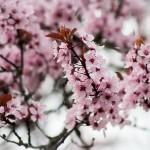 Фото 20: Розовые цветы вишни