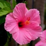 Фото 25: Розовый гибискус