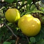 Фото 23: Плоды айвы на дереве