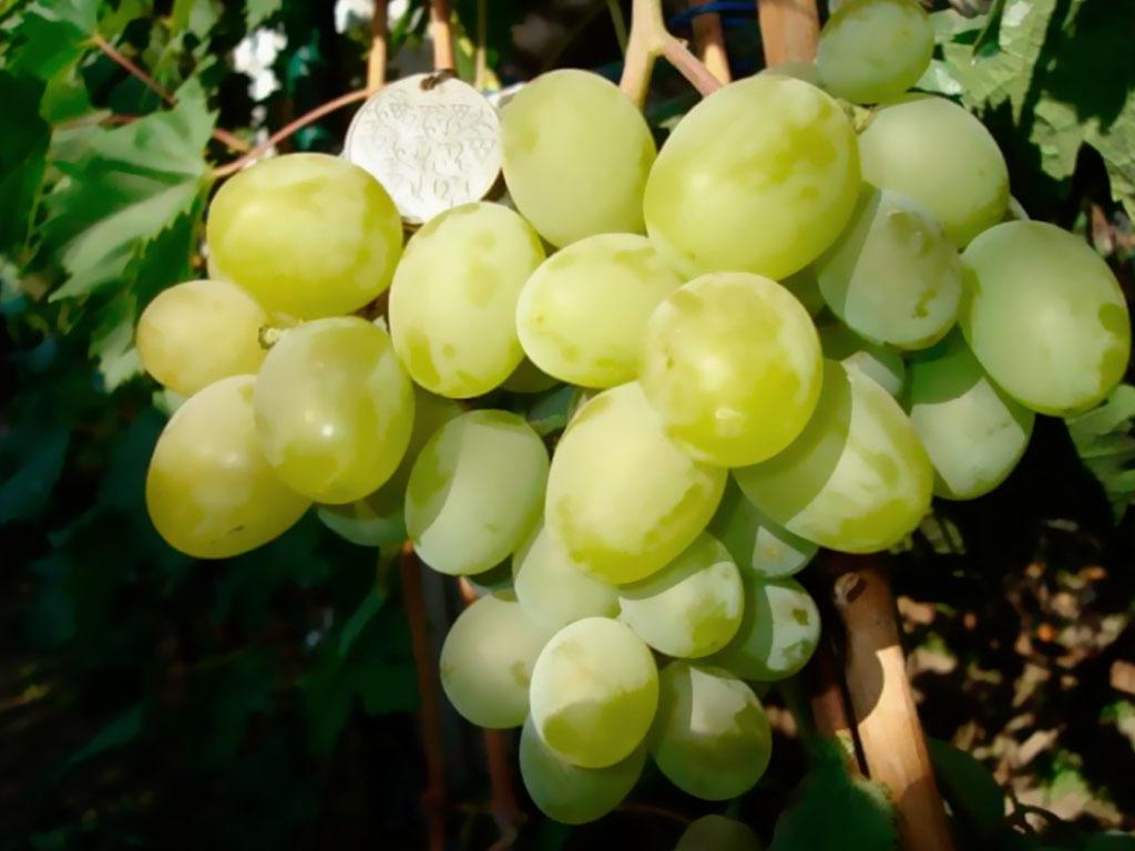 Виноград сорта Подарок Запорожья