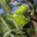 Фото 25: Розетки с семенами чернокорня