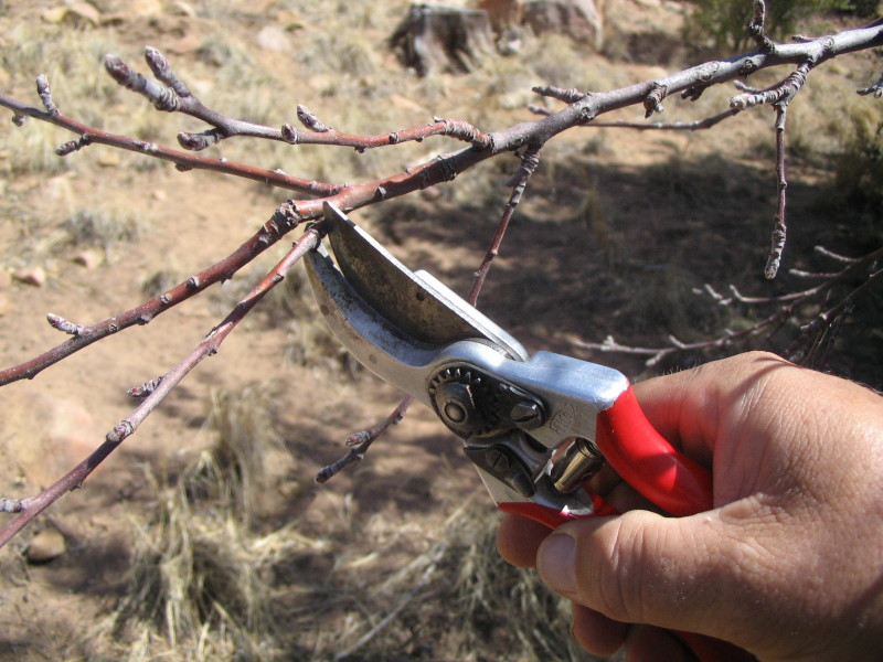 Обрезка молодых веток до начала цветения