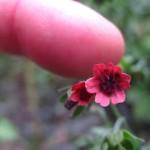 Фото 26: Размер цветков чернокорня лекарственного