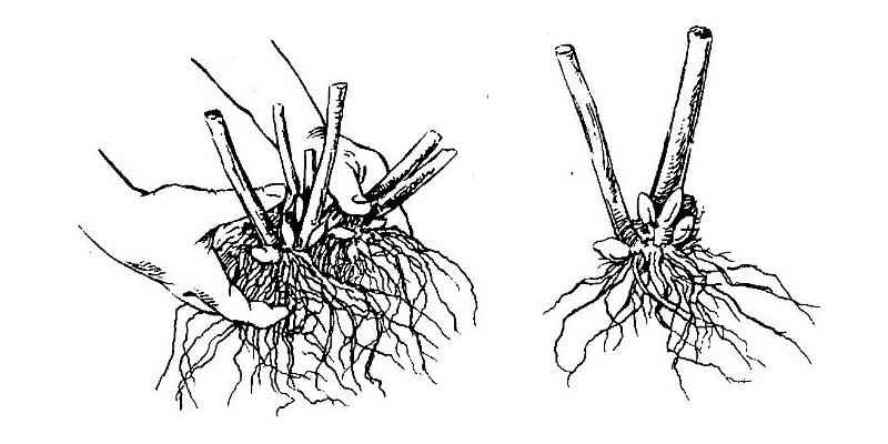 Размножение флоксов делением куста