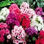 Фото 25: Разнообразие кустовых флоксов