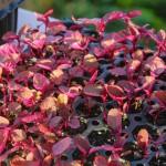 Фото 30: Всходы красного амаранта